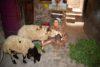 Dank einer finanziellen Unterstützung kann Madiha* aus Oberägypten eine nachhaltige Schafzucht betreiben. (csi)